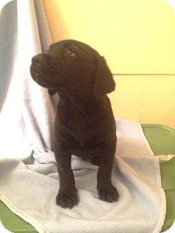Labrador Retriever/Hound (Unknown Type) Mix Puppy for adoption in Leesburg, Virginia - Sammy