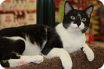 Domestic Shorthair Cat for adoption in Phoenix, Arizona - Lily