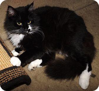 Domestic Longhair Cat for adoption in Tillamook, Oregon - Pippi