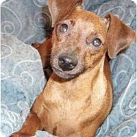 Adopt A Pet :: Jazzy - Phoenix, AZ