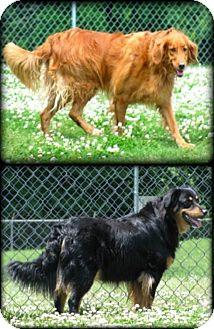 Hovawart/Collie Mix Dog for adoption in BIRMINGHAM, Alabama - Luci