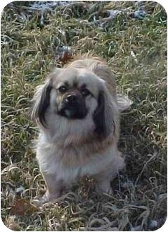 Pekingese Mix Dog for adoption in Cambridge, Ohio - Chris