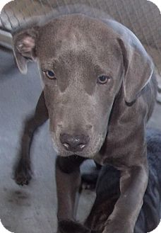 Pit Bull Terrier Mix Dog for adoption in St. Pauls, North Carolina - Dobby