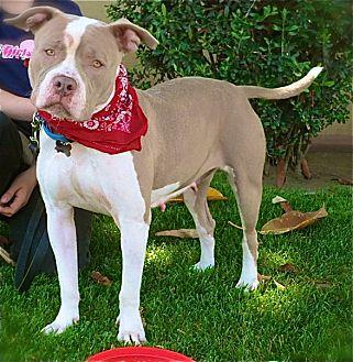 English Bulldog/American Pit Bull Terrier Mix Dog for adoption in Burbank, California - Beautiful Fiona-VIDEO