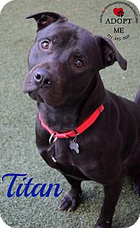 Pit Bull Terrier Mix Dog for adoption in Youngwood, Pennsylvania - Titan
