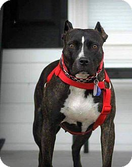 American Staffordshire Terrier Dog for adoption in Carthage, North Carolina - Onyx