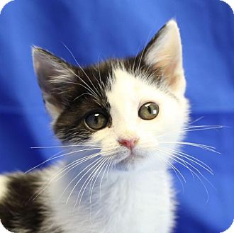 Domestic Shorthair Kitten for adoption in Winston-Salem, North Carolina - Lily