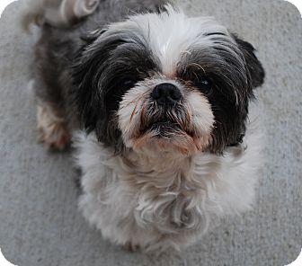 Shih Tzu Mix Dog for adoption in Council Bluffs, Iowa - Mugsy