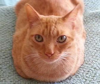 Domestic Shorthair/Domestic Shorthair Mix Cat for adoption in Morgan Hill, California - Sammy