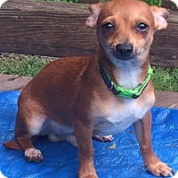 Adopt A Pet :: Stewart Little-5 lbs - Warwick, NY