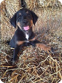 Labrador Retriever/German Shepherd Dog Mix Puppy for adoption in Hamburg, Pennsylvania - Harper
