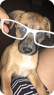 Miniature Pinscher/Terrier (Unknown Type, Small) Mix Puppy for adoption in Spring, Texas - Toffy