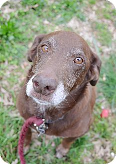 Australian Shepherd/Labrador Retriever Mix Dog for adoption in Huntsville, Alabama - Brownie