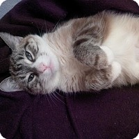 Adopt A Pet :: Frankie Blue Eyes - Jackson, NJ