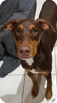 Doberman Pinscher Dog for adoption in Mary Esther, Florida - George