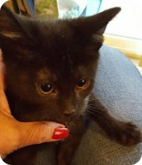 Domestic Shorthair Kitten for adoption in McHenry, Illinois - Violet