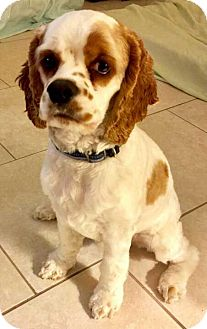 Cocker Spaniel Puppy for adoption in Cape Coral, Florida - Kingsley