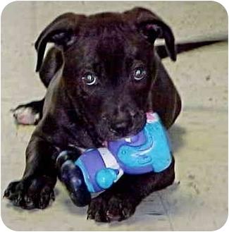 Labrador Retriever/Boxer Mix Puppy for adoption in HARRISONVILLE, Missouri - ROCKY