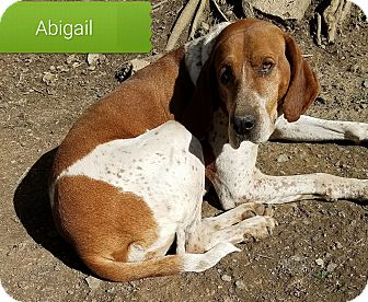 Redtick Coonhound/English (Redtick) Coonhound Mix Dog for adoption in Cincinnati, Ohio - Abigail