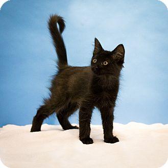 Domestic Shorthair Kitten for adoption in Houston, Texas - Jack