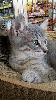 Domestic Mediumhair Kitten for adoption in Spring, Texas - Silverfish