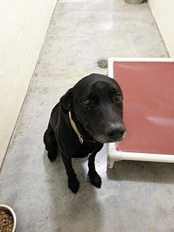 Labrador Retriever Dog for adoption in Fort Scott, Kansas - Shadow