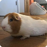 Guinea Pig for adoption in Asheville, North Carolina - Dave