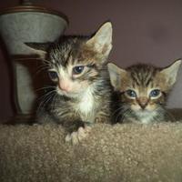 Adopt A Pet :: Tiger - Wantagh, NY