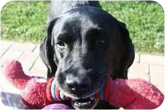 Labrador Retriever Dog for adoption in San Diego, California - HUNTER