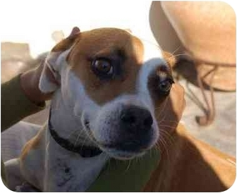 Boxer Mix Dog for adoption in Chula Vista, California - Kayla