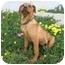 Photo 3 - Rhodesian Ridgeback/Labrador Retriever Mix Puppy for adoption in Berkeley, California - Henna