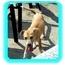 Photo 3 - German Shepherd Dog/Labrador Retriever Mix Puppy for adoption in Mayfield, New York - Wendell