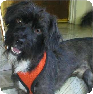 Lhasa Apso/Patterdale Terrier (Fell Terrier) Mix Dog for adoption in Poway, California - Hugo