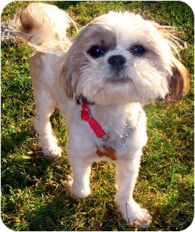 Shih Tzu/Lhasa Apso Mix Dog for adoption in Los Angeles, California - NEESI