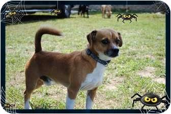 Beagle Mix Dog for adoption in Windham, New Hampshire - Balto