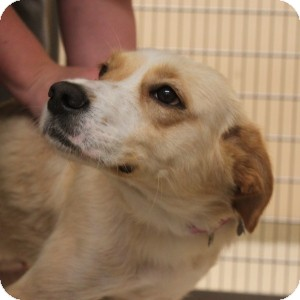 Labrador Retriever Mix Dog for adoption in Naperville, Illinois - Linda