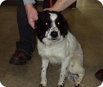 Border Collie Mix Dog for adoption in Mt. Vernon, Illinois - Minky