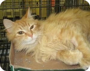 Domestic Longhair Cat for adoption in Stillwater, Oklahoma - Camomile