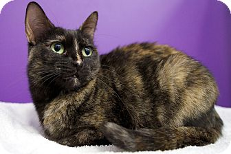 Domestic Shorthair Cat for adoption in Houston, Texas - Marmalade