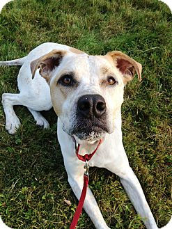 Boxer/Staffordshire Bull Terrier Mix Dog for adoption in Worcester, Massachusetts - Anchor
