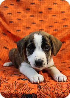 St. Bernard/Boxer Mix Puppy for adoption in Westminster, Colorado - My Bad