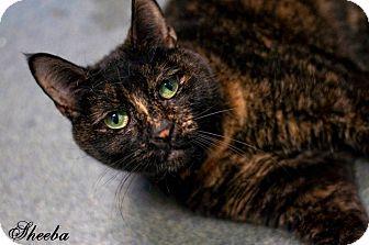 Domestic Shorthair Cat for adoption in Manahawkin, New Jersey - Sheeba