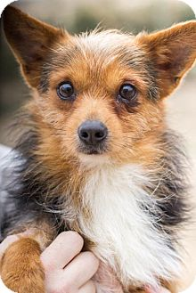 Chihuahua/Terrier (Unknown Type, Small) Mix Dog for adoption in Pilot Point, Texas - FRANKIE