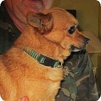 Adopt A Pet :: Bear - batlett, IL