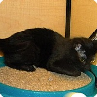 Domestic Shorthair Kitten for adoption in Miami, Florida - Binky