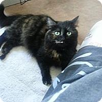 Domestic Longhair Cat for adoption in Pasadena, California - Hallie