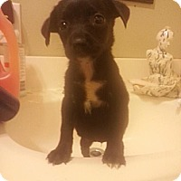Adopt A Pet :: Saddie - New orleans, LA