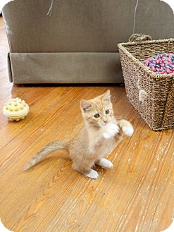 Domestic Shorthair Kitten for adoption in Marietta, Georgia - Doohickey