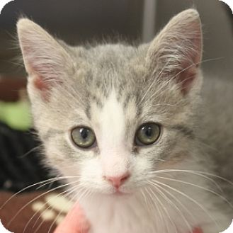 Domestic Shorthair Kitten for adoption in Naperville, Illinois - Crosby