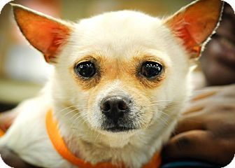 Chihuahua Mix Dog for adoption in Gainesville, Florida - Antoinette